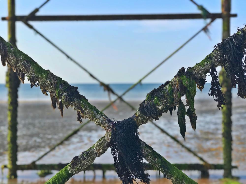 Seaweed hanging off the ironworks of Bognor pier