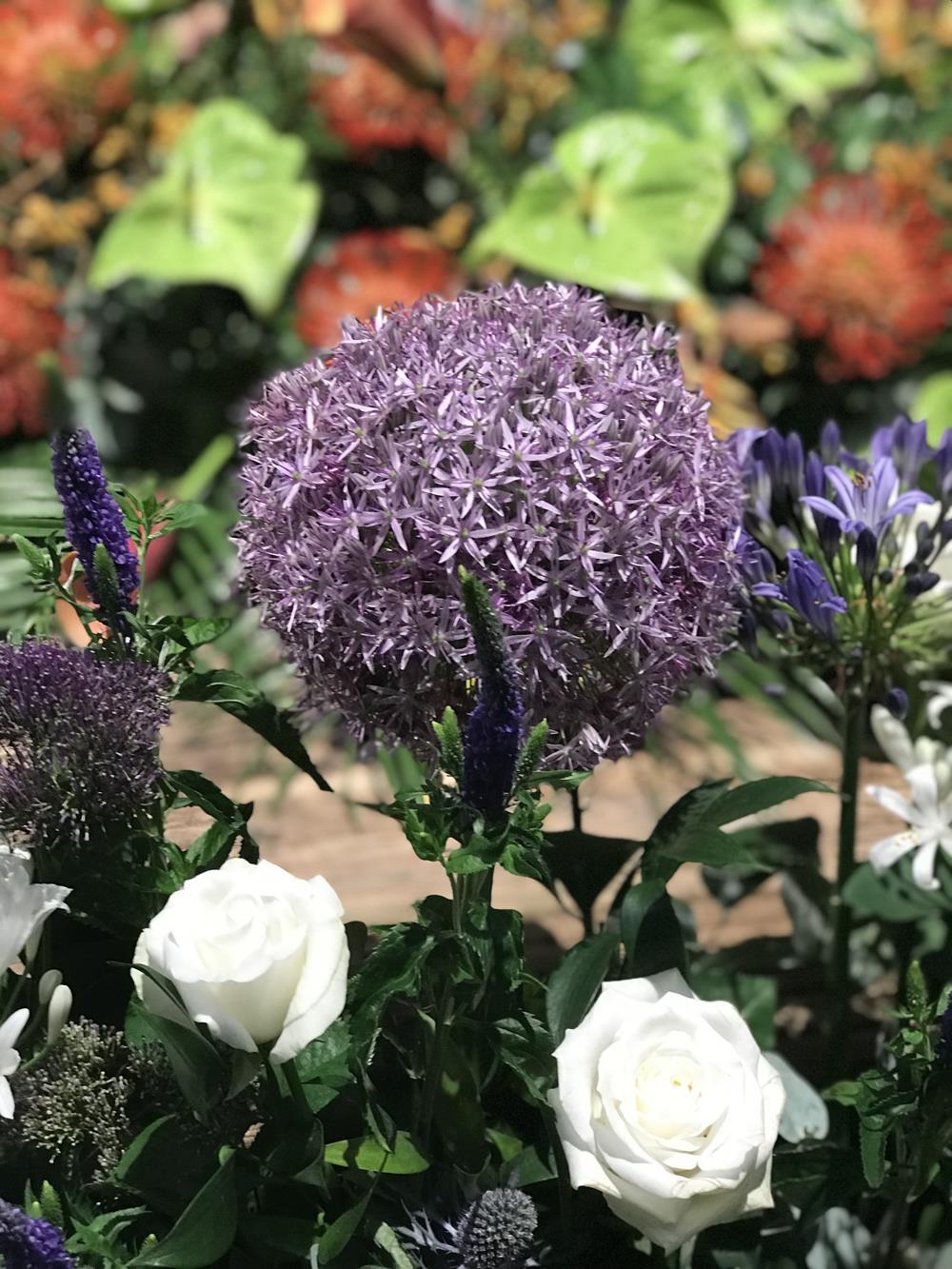 Allium bloom